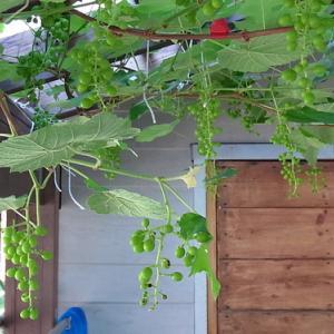 葡萄の粒がだんだん大きくなってきた