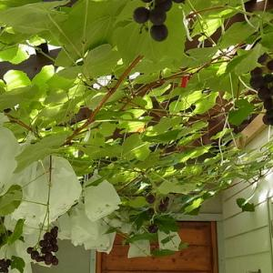 ブドウのグリーン天蓋