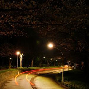 n年ぶりの地元桜