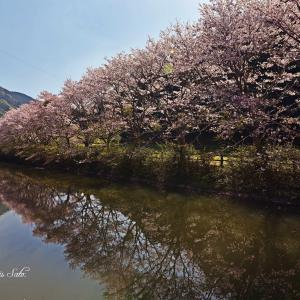 朝桜、昼桜、夜桜 その3