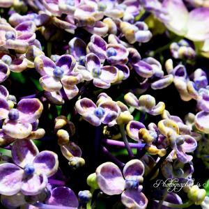 桃源郷の紫陽花 その3