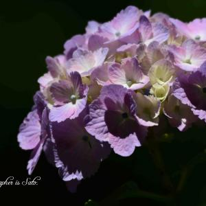 桃源郷の紫陽花 最終回