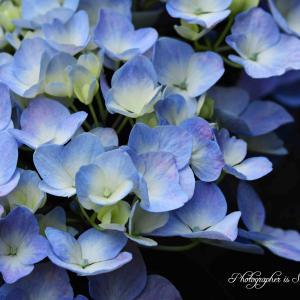 また紫陽花