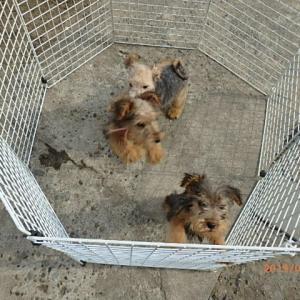 レークランドテリア子犬の成長