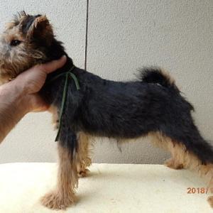 ウェルシュテリア子犬