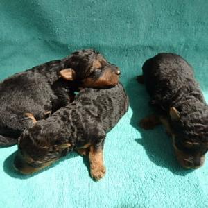 ウェルシュテリア子犬生まれました。