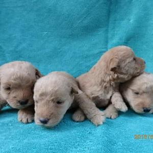 4月1日生まれのレークランドテリア子犬