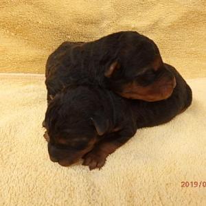 ウェルシュテリアの子犬が生まれました。