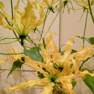今日のお花。黄色い大輪・高知のグロリオサ・ルテア