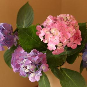 五感で楽しむ紫陽花のはな♪