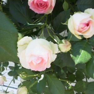 バラの季節です!