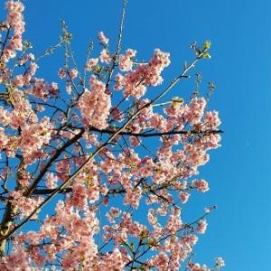 河津桜、見納め。