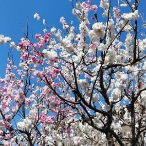 桜2021ソメイヨシノは見納め。