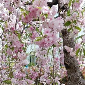 遅咲きの桜たち。