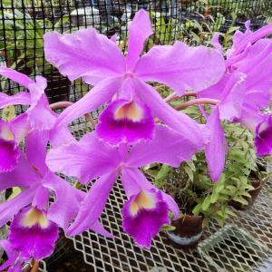 10月最終週の私(3)~温室の中には蘭、口の中は乱♪ブリテン/Op.10