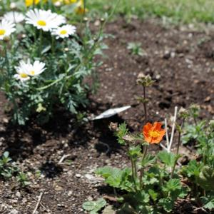 ダイコンの葉のみそ汁、私はけっこう好きです♪シベリウス・ひな菊
