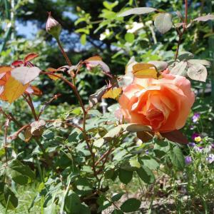 「花咲き実も成るMUUSAN邸ぃ~」2020.7.18♪サティ/太った……