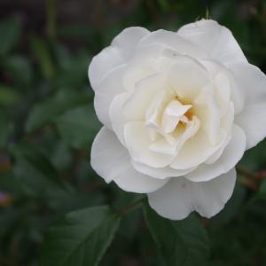「花の見ごろも終わりのMUUSAN邸ぃ~」♪WAM/戴冠式ミサ