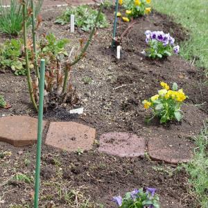 黄色のビオラが庭を華やかに!♪RVW/タリスの主題による幻想曲