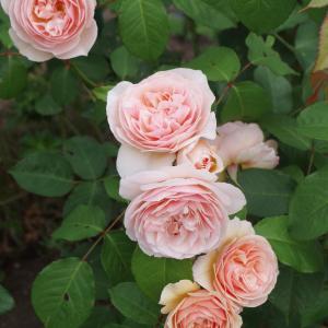 「花咲くMUUSAN邸ぃ~」2021.6.26~7.3♪J.シュトラウス/花祭