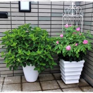 玄関の'メアリーローズ'と緑の紫陽花