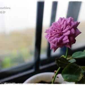 挿し木のその後(紫色の花が咲いた)