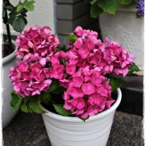 特価の紫陽花(ピンク)