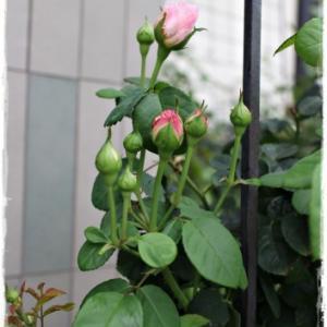 'ユースティティア・ヴァイ'の二番花が始まりました