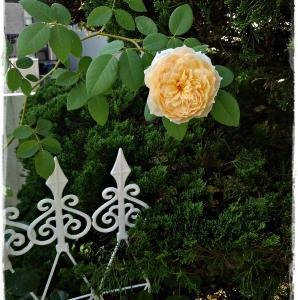 'バスシーバ'の三番花