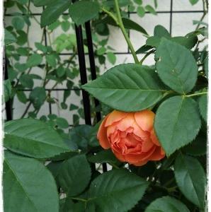 秋の薔薇は濃いオレンジ色の'パット・オースチン'