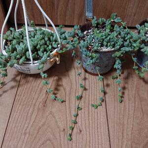 冬の間に伸びた室内の植物たち