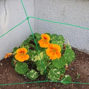 現在の花壇の花