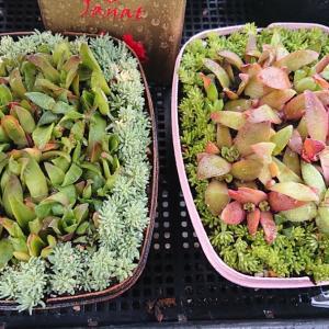 増えた多肉と庭の花