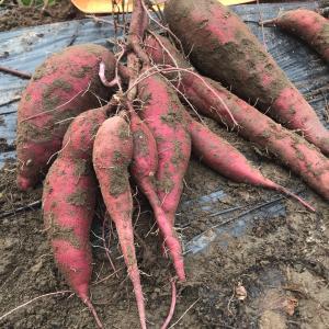 サツマイモ掘り 最終