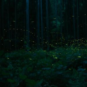 姫ボタルの光跡
