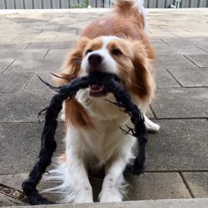 構い待ちの犬