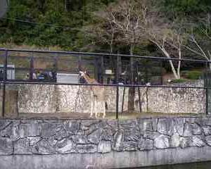 キリンさん入居他 いろいろあった at 日本平動物園(20151122)