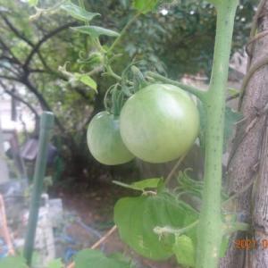 名残のトマト。