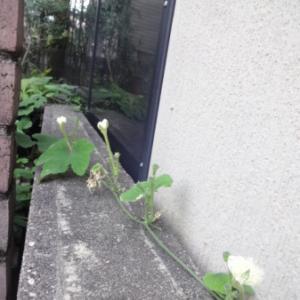 からすうりの花②