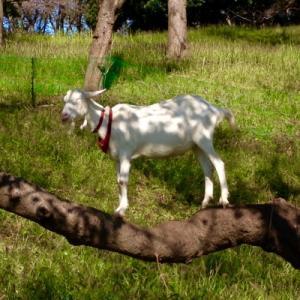 木の上に山羊さん
