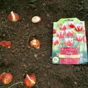 チューリップの球根を植えました🌷