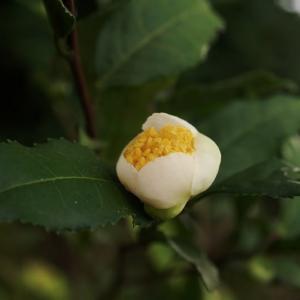チャ の花はひっそりと