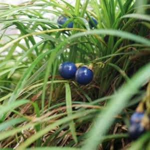 青い実 赤い実