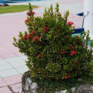 元旦の赤い花 サンタンカ と オオベニゴウカン