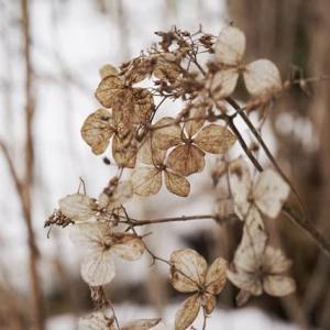 アマチャ の花ガラ