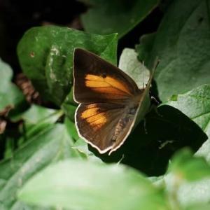 ウラギンシジミ は暑い日に 蝶 2019-1