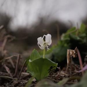 '20 カタクリ探訪 6 小出公園の白い花