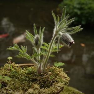 オキナグサ と 翁草