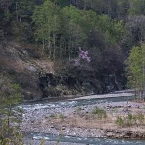 破間渓谷の オオヤマザクラ