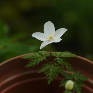棚場の白い花 イチリンソウ と ヒダカハナシノブ